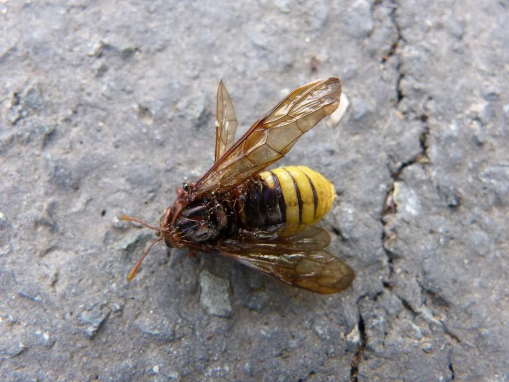 Cymbex sp. Cymbicidés