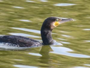44 02 Grand cormoran