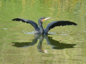 44 07 Grand cormoran