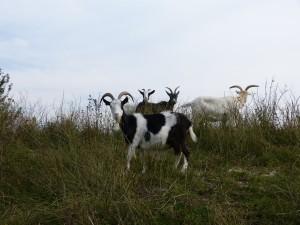 44 13 Chèvre des fossés
