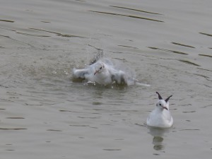 44 39 Mouette rieuse