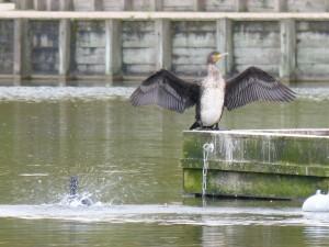 49 27 Grand cormoran