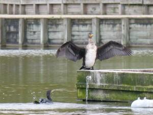 49 28 Grand cormoran