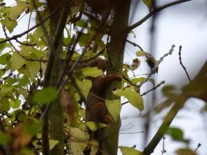 53 20 Ecureuil roux