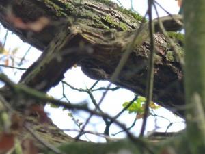 54 13 Grimpereau des jardins