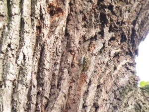 54 15 Grimpereau des jardins