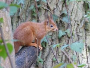 54 27 Ecureuil roux