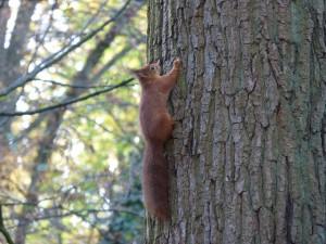 54 39 Ecureuil roux