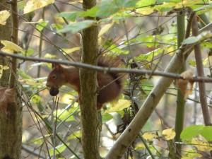 55 03 Ecureuil roux