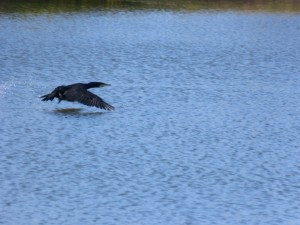 57 24 Grand cormoran