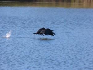 57 25 Grand cormoran