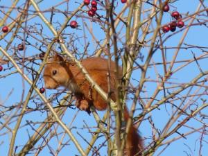 59 20 Ecureuil roux