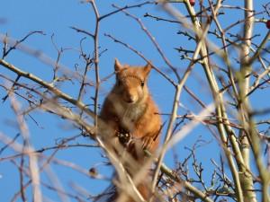 59 21 Ecureuil roux