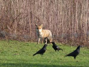 63 10 Le renard roux