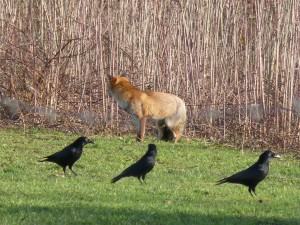 63 12 Le renard roux