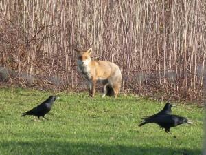 63 13 Le renard roux