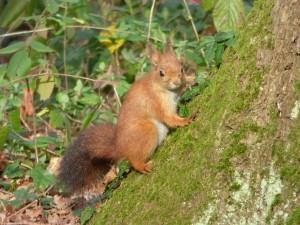 64 32 Ecureuil roux