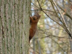 64 34 Ecureuil roux