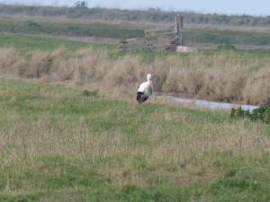 66 09 Une cigogne blanche