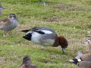 66 105 Canard siffleur mâle