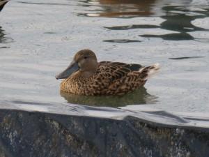 66 106 Canard souchet femelle