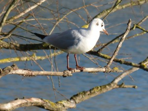 72 13 Mouette rieuse