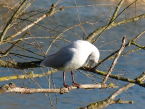 72 15 Mouette rieuse
