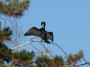 72 29 Grand cormoran