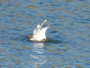 72 33 Mouette rieuse