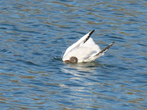 72 35 Mouette rieuse