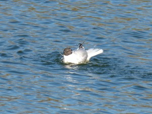 72 38 Mouette rieuse
