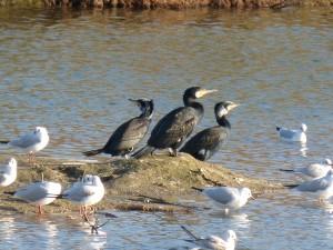 72 68 Grands cormorans