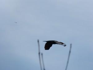 73 13 Un grand cormoran passe