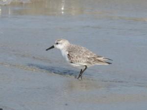 78.2 72 Bécasseau sanderling