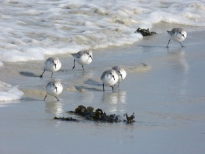 78.2 75 Bécasseaux sanderlings