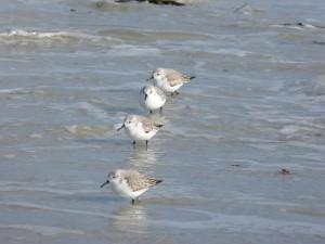 78.2 76 Bécasseaux sanderlings