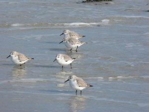 78.2 77 Bécasseaux sanderlings