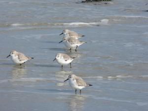 78.2 77 Bécasseaux sanderlings