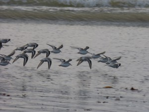 78.3 46 Bécasseaux sanderlings