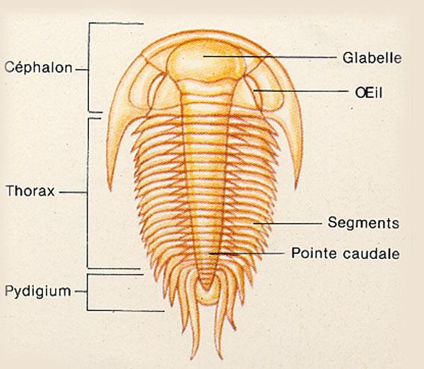 trilobite-anatomie