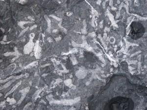 79.3 47 Schistes et calcaire de l'armorique Coraux
