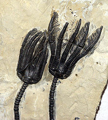 79.3 66 Crinoides fossiles