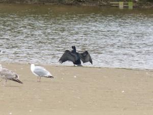 80 13 Grand cormoran