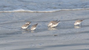 81.3 18 Bécasseaux sanderlings