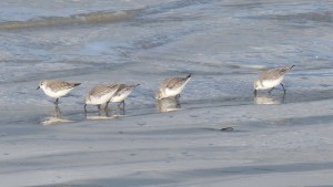 81.3 19 Bécasseaux sanderlings