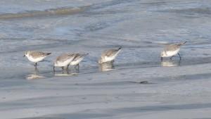 81.3 19 Bécasseaux sanderlings