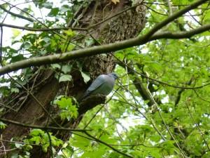 90-06-pigeon-colombin