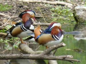 90-22-canards-mandarins-males