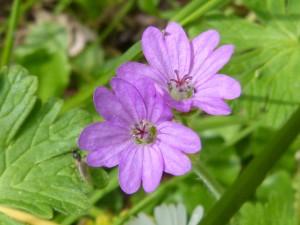 90-40-un-geranium-mou