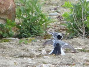 92-41-bergeronnettes-grises